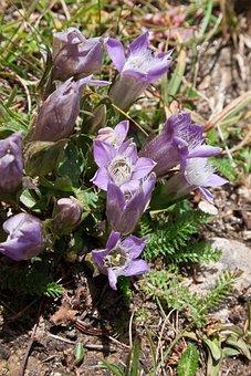 Gentian, Gentiana, Alpine, Grossglockner, Violet