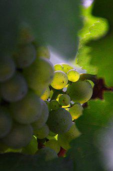 Grape, Green Grapes, Autumn Fruit, Autumn, Ripe Fruit
