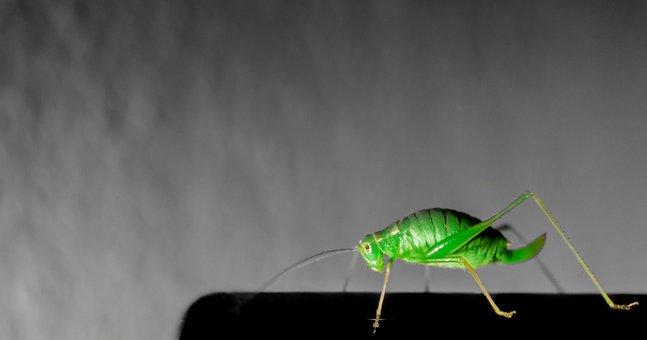 Grasshopper, Insect, Green, Spot Color