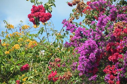 Bougainvillea, Flower, Antigua, Guatemala, Tropic