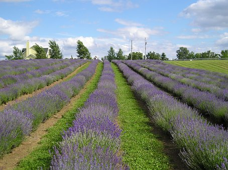 Fields, Lavender, Nature, Landscape, Summer, Scents