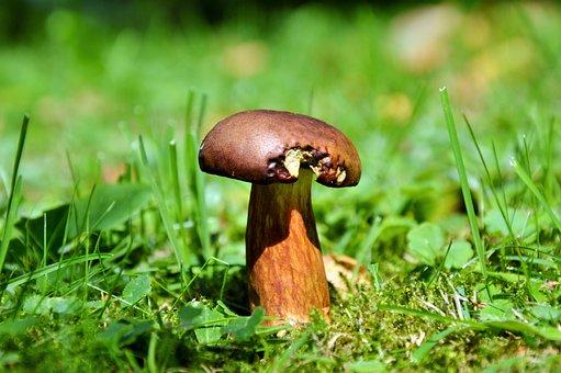 Cep, Mushroom, Tube Mushroom, Brown Cap