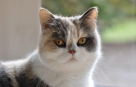 Cat, Persians, Persian Mongrel, Domestic Cat, Pet