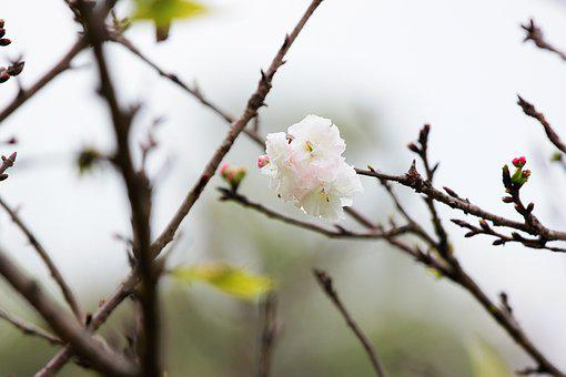 Plant, Cherry Blossoms, Chrysanthemum Cherry, Flower