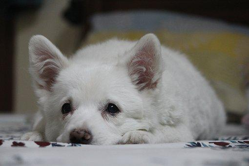 Puppy, Cute, Laying Down, Stare, Pommerian