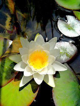Water Lily, Water, Flowers, Pond, White, Nature