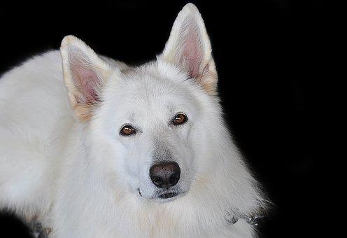Schäfer Dog, White, White Shepherd, Animal Portrait
