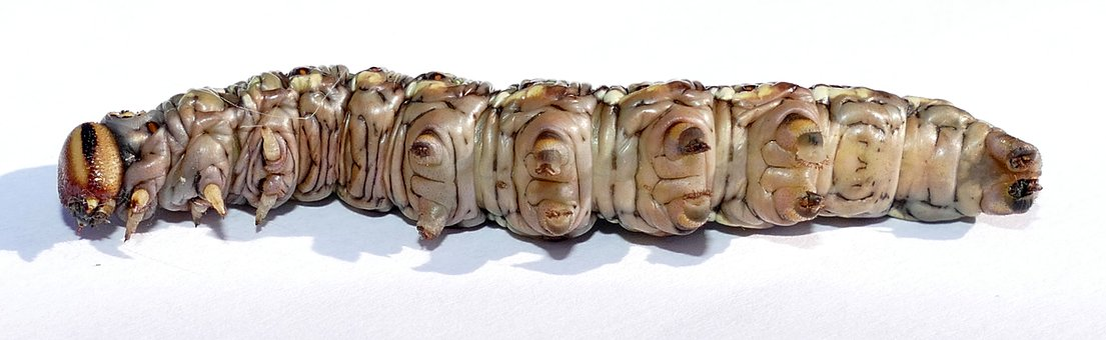Kiefernschwaermer, Caterpillar, Sting, Sphinx Pinastri