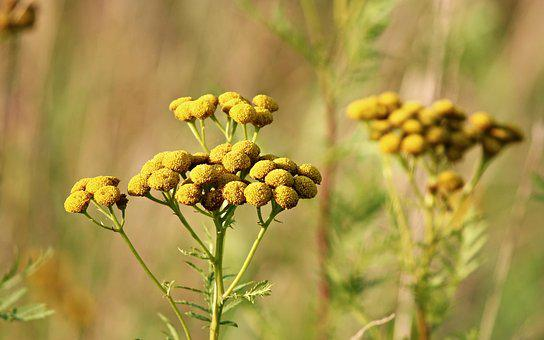 Tansy, Wild Flower, Tanacetum Vulgare, Worm Herbal
