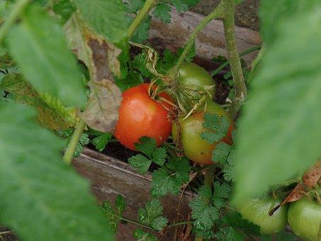 Tomatoes, Plantation, Organic, Harvest