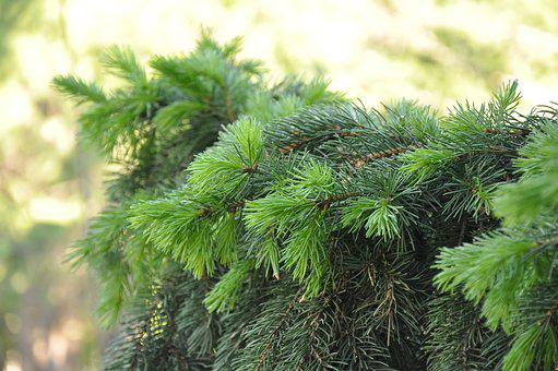 Spruce, Branch, Coniferous, Needles, Tree, Greens