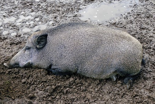 Like A Pig In Shit, Boar, Wallow, Mud, Boon