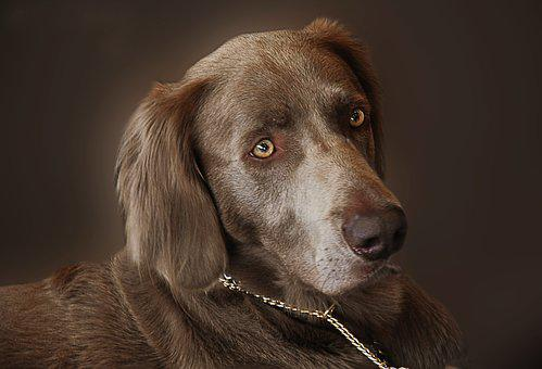 Weimaraner, Dog, Hunting Dog, Animal Portrait, Pet