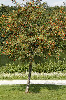 Mountain Ash, Rowan, Ash, Tree, Red, Fruits, Berries