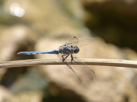 Blue Dragonfly, Branch, Wetland, Orthetrum Coerulescens