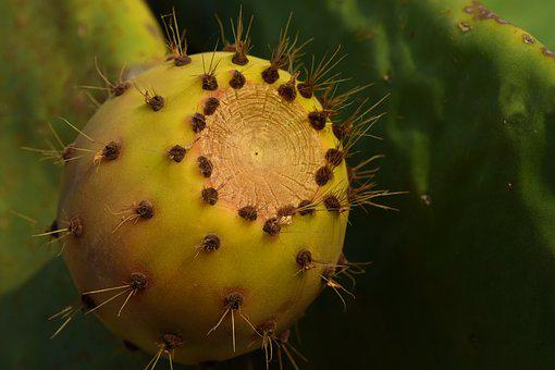 Cactus, Prickly Pear, Fruit, Sting, Sweet, Ripe, Edible