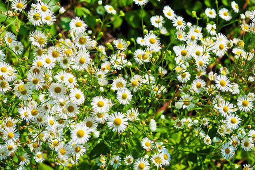 Flowers, Daisies, White, Meadow, Summer, Bloom, Yellow