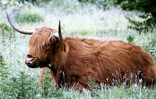 Desirable, Scottish Hochlandrind, Animal, Highland Beef