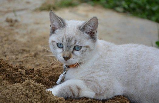 Kitten, Blue Eyes, Look, Feline, Dig, Domestic Animal