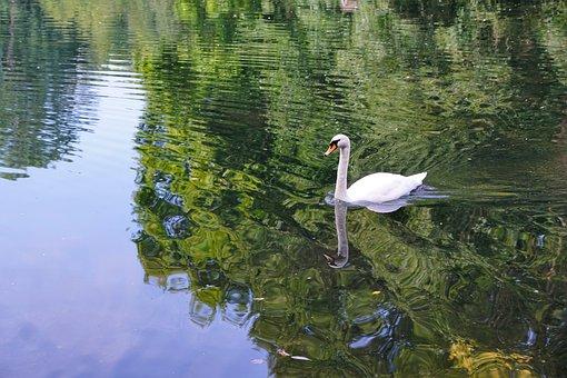 Swan, Bird, Danube, Donaueschingen, Summer, Park