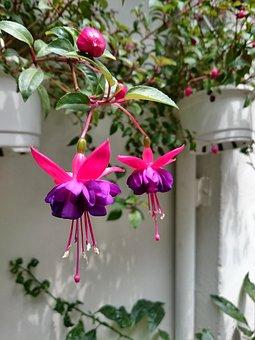 Hanging Clock Flower, Purple, Flower