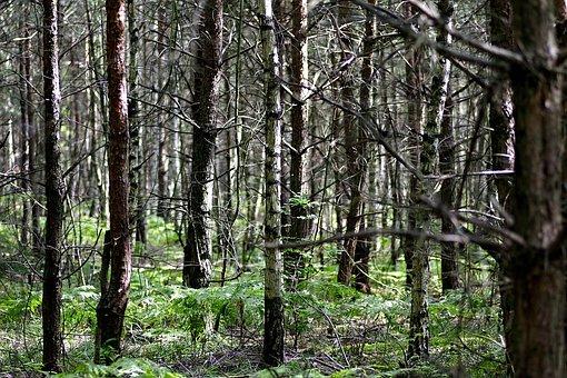 Forest, Tree, Birch, Then, Densely, Scrubs