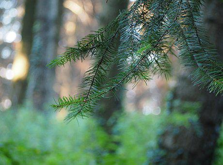 Conifer, Forest, Tree, Nature, Needles, Spruce, Branch