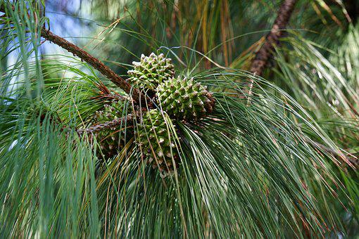 Acorns, Pine, Acorn, Tree, Fruit, Forest, Green