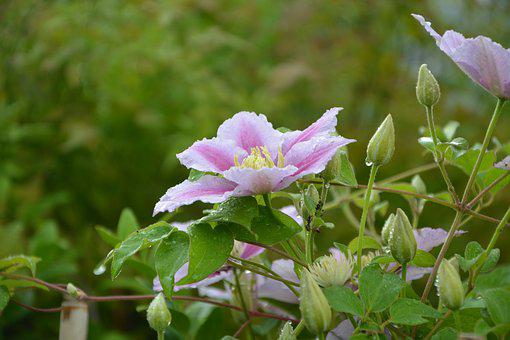 Flowers, Buds, Clematis, Nature, Garden, Pink, Plant