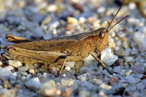 Tettigonia Viridissima, Grasshopper, Insect, Green