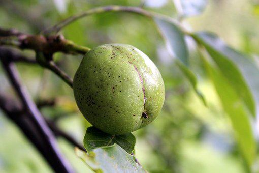 Walnut, Tree, Fruit, Green, Sad, Nature, Sprig, Closeup