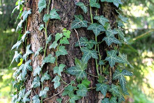 Tree, Ivy, Sunny Day, Holiday, Nature, Leaf, Foliage