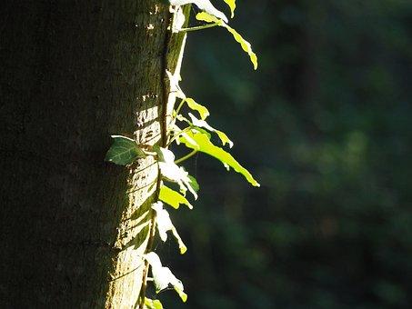Log, Ivy, Tree, Climber, Nature, Creeper, Fouling