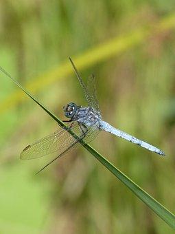 Blue Dragonfly, Leaf, Greenery, Wetland