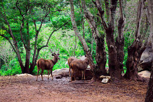 Deer, Nature, Forest, Wildlife, Animal, Brown, Male