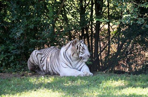 Siberian Tiger, Wildlife, Wild, Animal Reserve, Nature