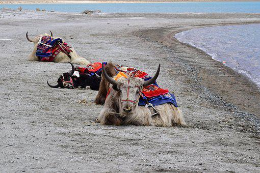 Yak, Pangong Lake, Pangong Tso, Lake, Animals, Ride