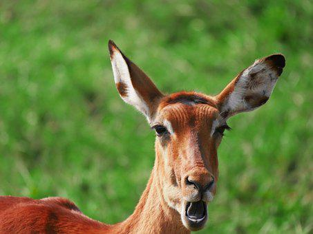Impala, Animal Portrait, Antelope, Wild Animal, Head