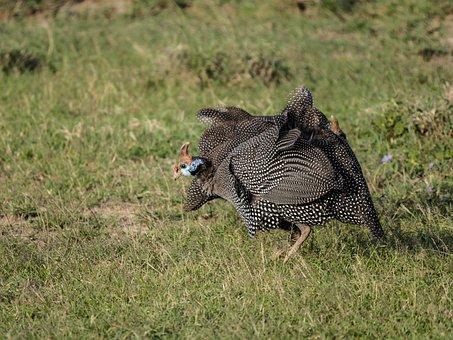 Guinea Fowl, Savannah, Bird, Helmet Perl Chicken