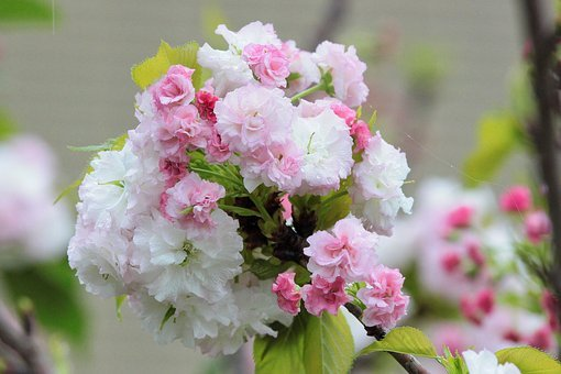 Plant, Cherry Blossoms, Chrysanthemum Cherry