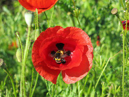 Hummel, Poppy, Hard Working, Collect Nectar