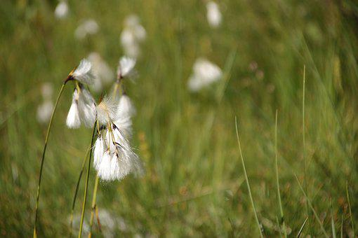 Mountain, Flower, Nature, Cotton Flower, White, Cotton