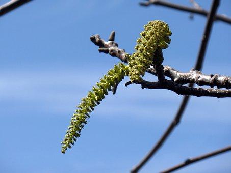 Flower, Walnut, Green, Sky, Tree, Nature, Blue