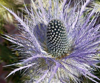 Alpine Thistle, Blossom, Bloom, Piston, Pinnate, Jagged