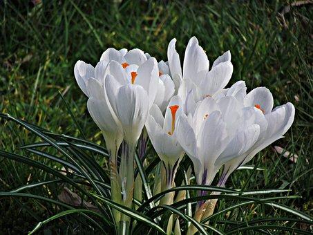 Flower, Krokus, Spring, Nature, Flowers, Meadow