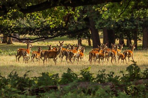 Deer, Forest, Nature, England, Animals, Wild