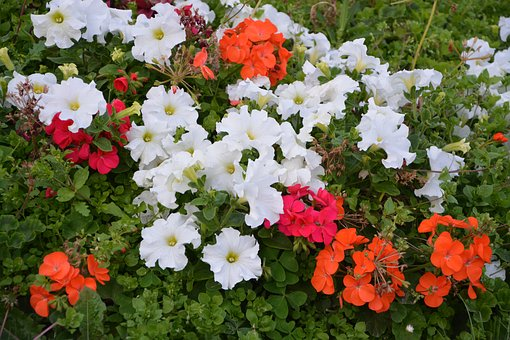 Flowers, Petunia, Red, White, Nature, Summer Flowers