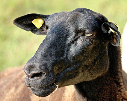 Sheep, Portrait, Sheepshead, Black, Brown, Pet