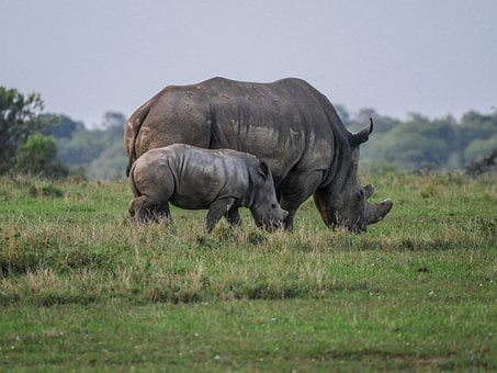 Rhino, Young Animal, Eat, Savannah, White Rhino