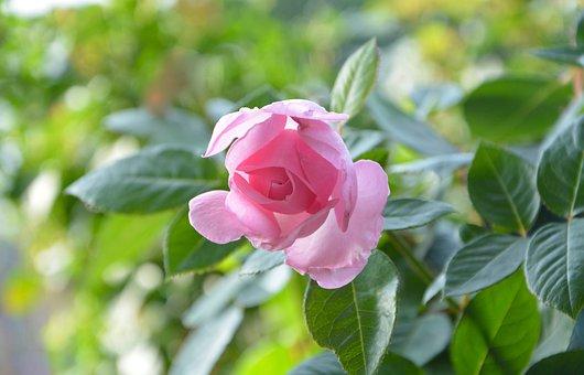 Pink, Rosebush, Green Leaves, Nature, Offer, Garden